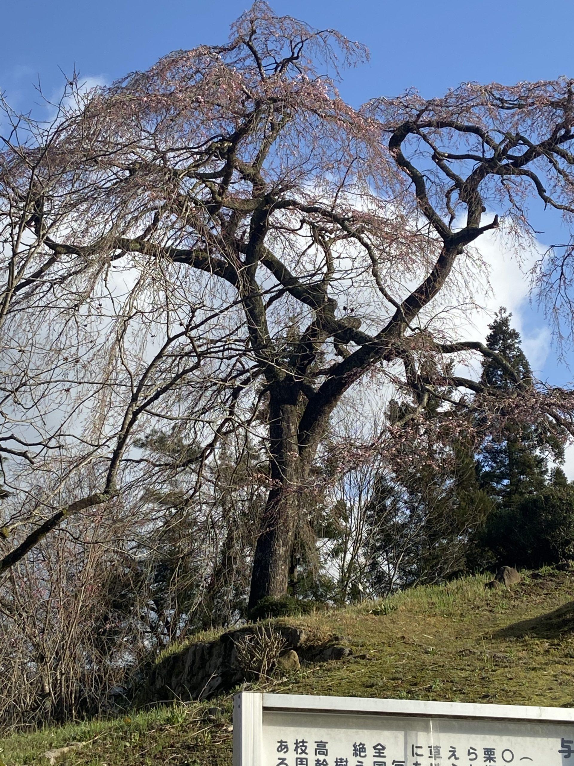 2020.03.29 棚田→与一野の桜